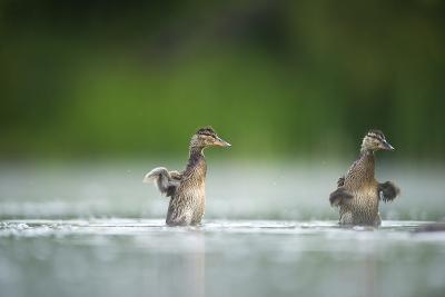 Two Mallard (Anas Platyrhynchos) Ducklings Standing Up to Shake Wings after Bathing, Derbyshire, UK-Andrew Parkinson-Photographic Print