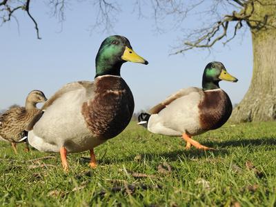 https://imgc.artprintimages.com/img/print/two-mallard-drakes-anas-platyrhynchos-and-a-duck-approaching-on-grass-wiltshire-england-uk_u-l-phd85h0.jpg?p=0