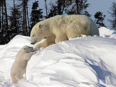 Two Month Old Cub and Mother Polar Bear-Yvette Cardozo-Photographic Print