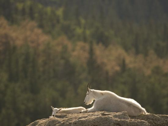 Two Mountain Goats Lying on Rock Formations in Custer State Park-Phil Schermeister-Photographic Print