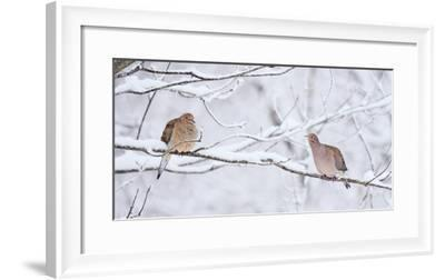 Two mourning doves rest on a tree branch in snow.-Amy White-Framed Premium Photographic Print