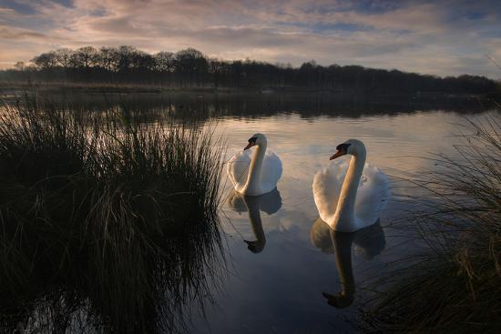 Two Mute Swan, Cygnus Olor, on a Lake in London's Richmond Park-Alex Saberi-Photographic Print