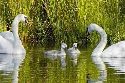 Two Mute Swans, Cygnus Olor, Look over their Two Cygnets-Paul Colangelo-Photographic Print