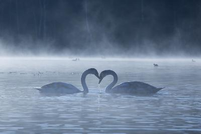 Two Mute Swans in Love, Cygnus Olor, Swim in a Pond in Richmond Park at Sunrise-Alex Saberi-Photographic Print