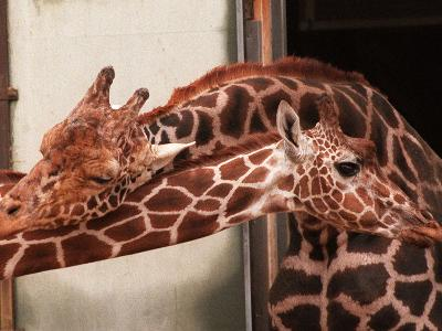 Two New Giraffe Calves Make Their First Apperance at London Zoo, October 1997--Photographic Print