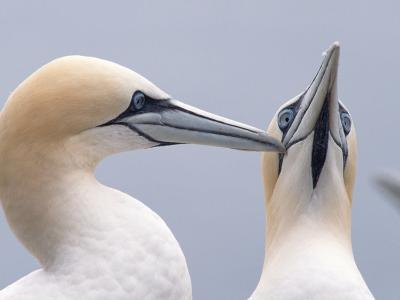 Two Northern Gannets-Niall Benvie-Photographic Print