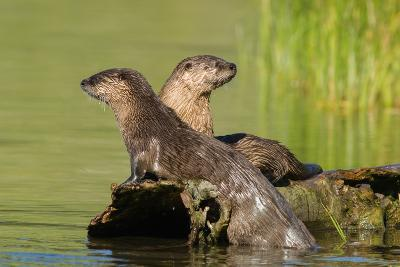 Two Northern River Otters Enjoying a Warm Summer Day-Tom Murphy-Photographic Print