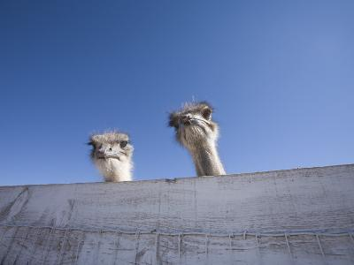 Two Ostrich Looking over a Fence, Arizona-John Burcham-Photographic Print