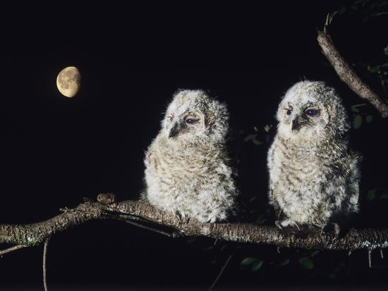 Two Owlets Perching on Tree Branch--Photo