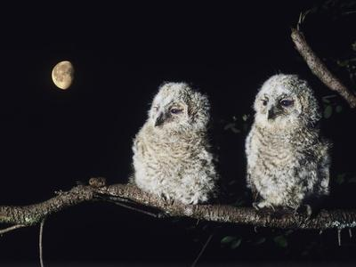 https://imgc.artprintimages.com/img/print/two-owlets-perching-on-tree-branch_u-l-pt8dbf0.jpg?p=0