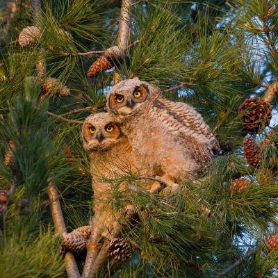 Two Owlets Sit in a Pine Tree-Chris Schwarz-Photographic Print