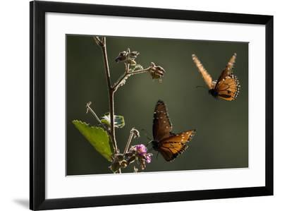 Two Pacific Monarch Butterflies Interested in a Flowering Plant on Isla San Jose-Michael Melford-Framed Photographic Print
