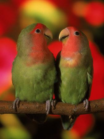Two Parrots Perched on a Branch-Henryk T^ Kaiser-Photographic Print