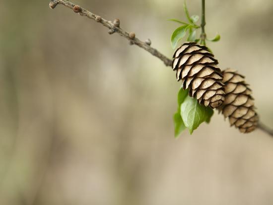 Two Pinecones on Tree Bough--Photographic Print