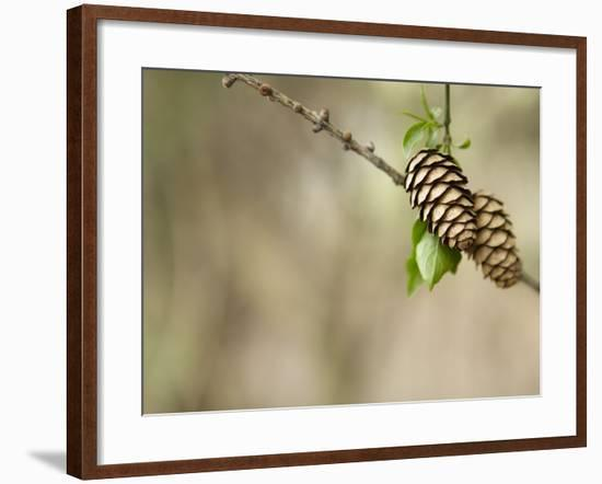 Two Pinecones on Tree Bough--Framed Photographic Print