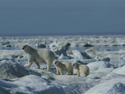 Two Polar Bear Cubs Follow Their Mother Through the Icy Landscape-Norbert Rosing-Photographic Print
