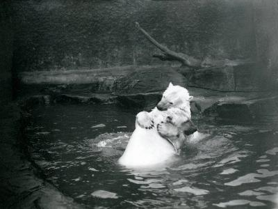 Two Polar Bears, Including a Juvenile, Hugging and Playing in a Pool at London Zoo, June 1922-Frederick William Bond-Giclee Print