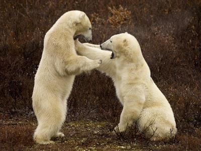 Two Polar Bears Play Fighting, Churchill, Hudson Bay, Canada-Inaki Relanzon-Photographic Print