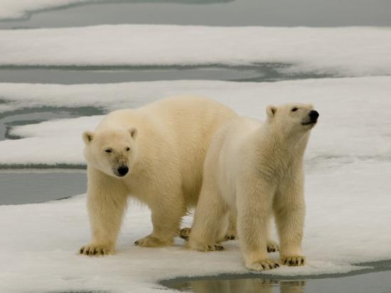 Two Polar Bears Stand on a Piece of Ice-Norbert Rosing-Photographic Print