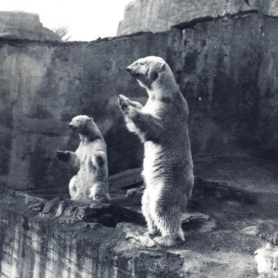 Two Polar Bears Standing Up-Frederick William Bond-Photographic Print