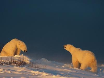 Two Polar Bears (Ursus Maritimus) Prepare to Fight Each Other-Norbert Rosing-Photographic Print