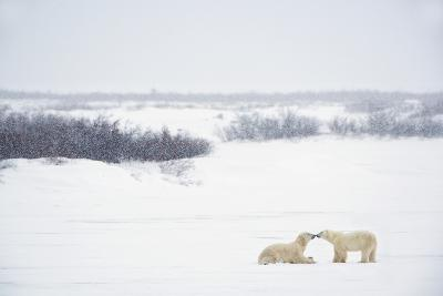 Two Polar Bears (Ursus Maritimus) Showing Affection by Kissing Each Other; Churchill-Design Pics Inc-Photographic Print