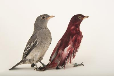 Two Pompadour Cotingas, Xipholena Punicea, at the Houston Zoo-Joel Sartore-Photographic Print
