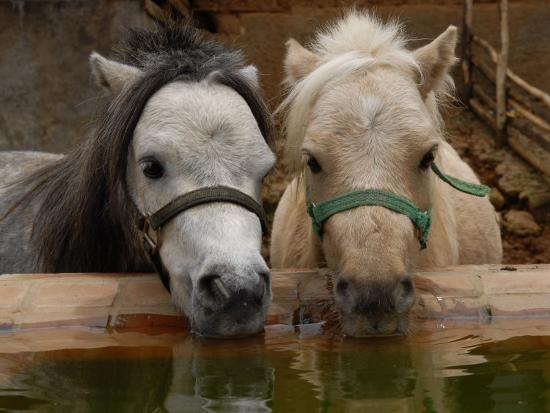 Two Ponies Meet for a Refreshing Drink of Water-Medford Taylor-Photographic Print