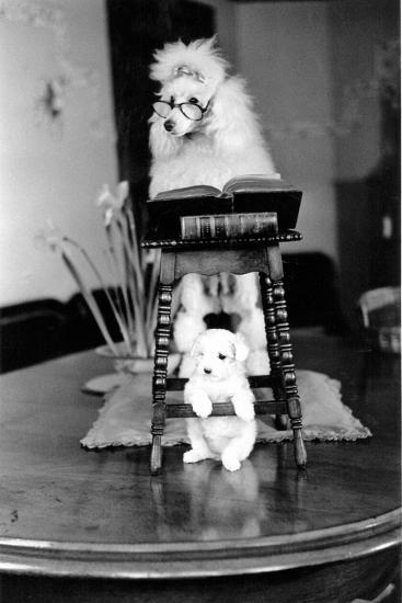 Two Poodles-Carl Sutton-Photographic Print