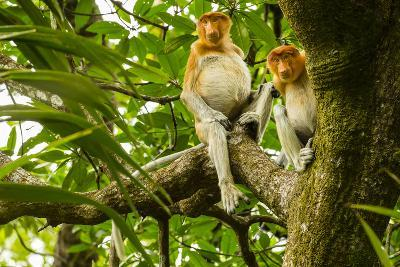 Two Proboscis Monkeys, Nasalis Larvatus, Sitting on a Tree Limb-Ralph Lee Hopkins-Photographic Print