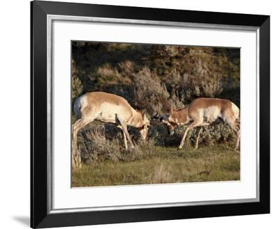 Two Pronghorn (Antilocapra Americana) Bucks Sparring, Yellowstone National Park, Wyoming, USA-James Hager-Framed Photographic Print