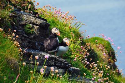 Two Puffins, Westray, Orkney Islands, Scotland, United Kingdom, Europe-Bhaskar Krishnamurthy-Photographic Print