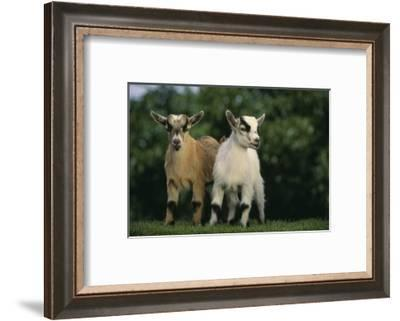 Two Pygmy Goats-DLILLC-Framed Photographic Print