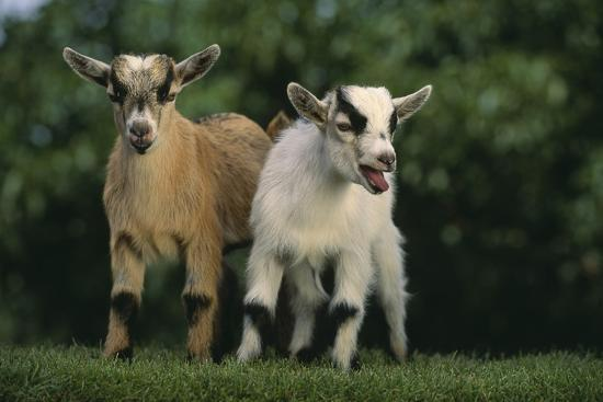 Two Pygmy Goats-DLILLC-Photographic Print
