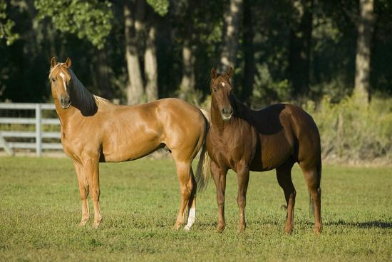 Two Quarter Horses Together in the Pasture-DLILLC-Photographic Print