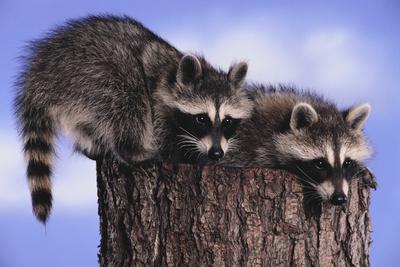 https://imgc.artprintimages.com/img/print/two-raccoons_u-l-pzrkvm0.jpg?p=0