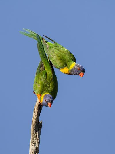 Two Rainbow Lorikeets in Southwest Australia.-Neil Losin-Photographic Print