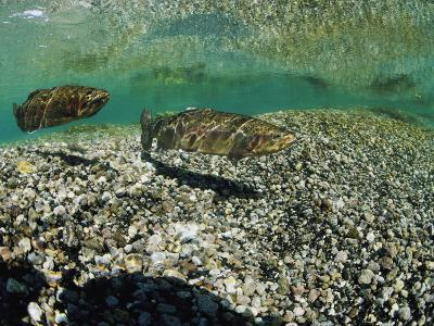 Two Rainbow Trout Swim in a Shallow Stream Above Sunlit Gravel-Michael S^ Quinton-Photographic Print