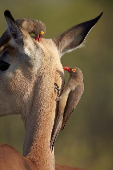 Two Red-Billed Oxpecker (Buphagus Erythrorhynchus)-James Hager-Photographic Print