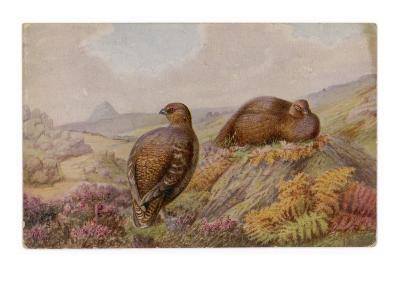 Two Red Grouse (Lagopus Lagopus)--Giclee Print
