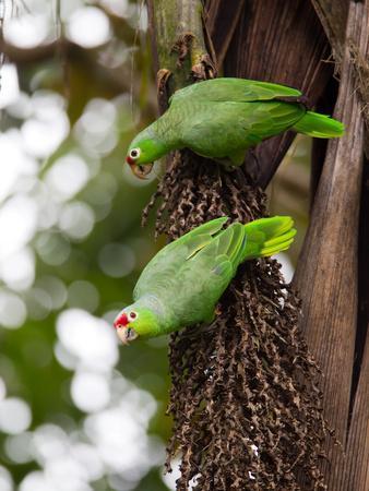 https://imgc.artprintimages.com/img/print/two-red-lored-amazon-parrots-amazona-autumnalis_u-l-phu4xk0.jpg?p=0