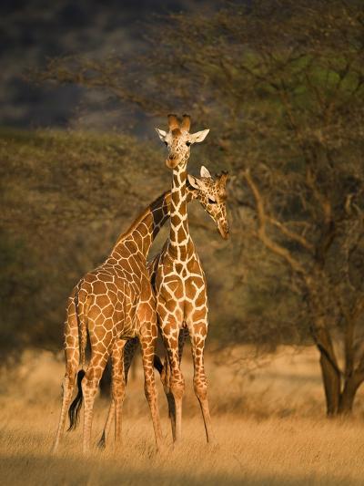Two Reticulated Giraffes (Giraffa Camelopardalis Reticulata), Kenya--Photographic Print