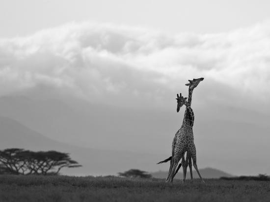 Two Reticulated Giraffes 'Necking' in the Early Morning-Nigel Pavitt-Photographic Print