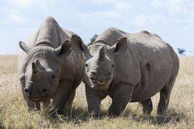 Two Rhinoceros, Ol Pejeta Conservancy, Laikipia, Kenya, East Africa, Africa-Ann and Steve Toon-Photographic Print