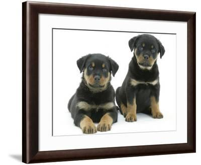 Two Rottweiler Pups, 8 Weeks Old-Jane Burton-Framed Photographic Print