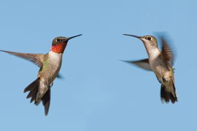 Two Ruby-Throated Hummingbirds, A Male And Female, Flying With A Blue Sky Background-Sari ONeal-Photographic Print