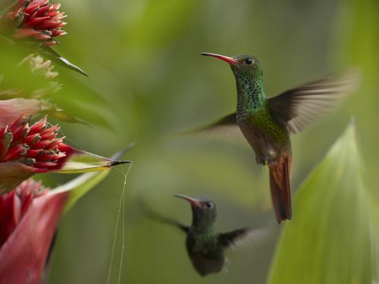 Two Rufous-Tailed Hummingbirds-Tim Fitzharris-Photographic Print