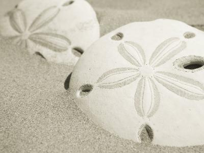 Two Sand Dollars Rest in the Sand of the Beach-Ralph Lee Hopkins-Photographic Print