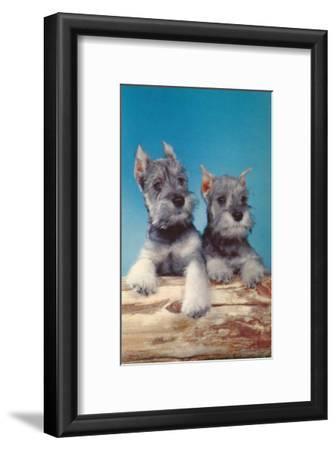 Two Schnauzer Puppies
