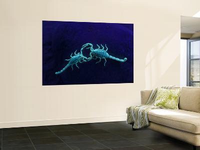 Two Scorpions Under Blacklight, Maverick County, Texas, USA-Cathy & Gordon Illg-Wall Mural